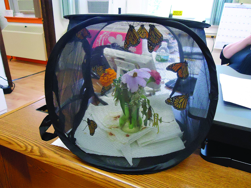 Photo by Pete Klein Monarch butterflies in their nursery in the business office at Indian Lake Central School before being released to start their journey south on Monday, Sept. 18.